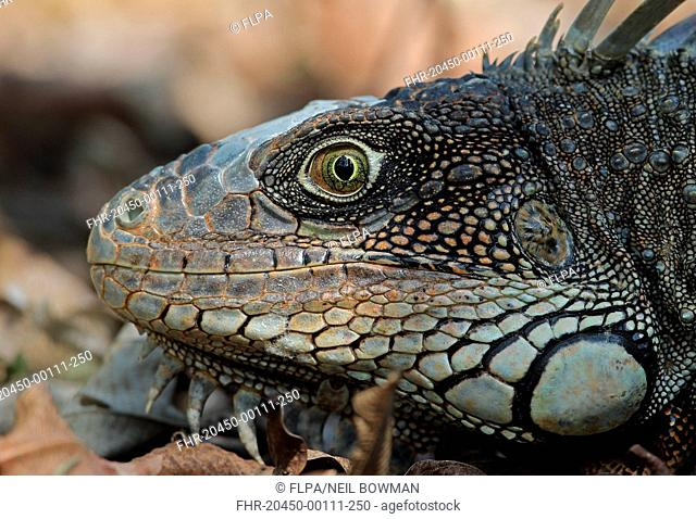 Green Iguana (Iguana iguana) adult, close-up of head, Darien, Panama, April