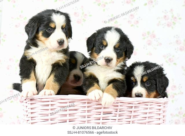 Bernese Mountain Dog. Four puppies (5 weeks old) in pink basket. Studio picture. Germany