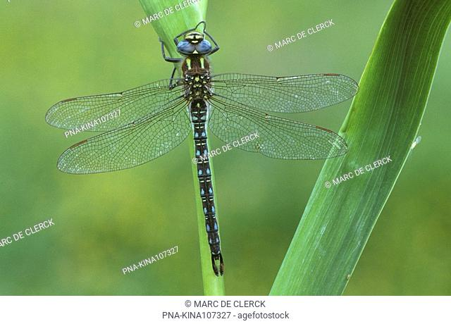 Hairy Dragonfly Brachytron pratense - Plateaux, Bergeyk, North Brabant, The Netherlands, Holland, Europe