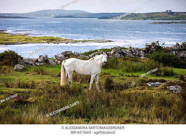 Connemara pony along bay, Connemara, Galway, Ireland