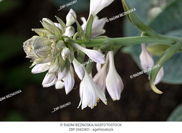 Hosta blooming, plant in a shady part of the garden