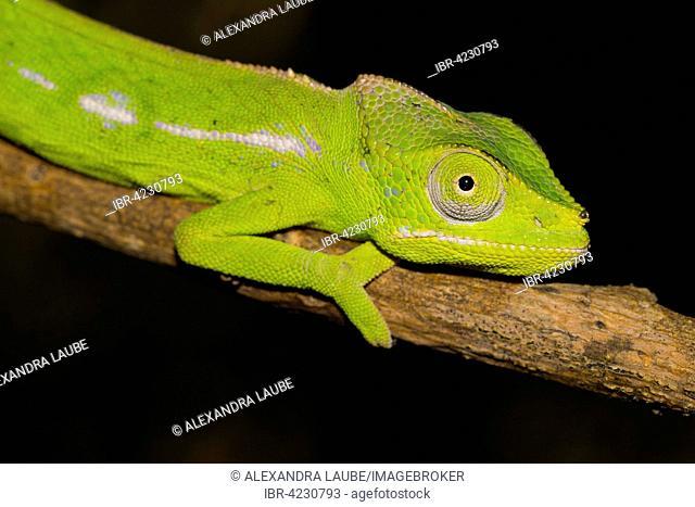 Belalanda Chameleon or Sangoritan'i Belalanda (Furcifer belalandaensis), female, rarest chameleon in world, southern Madagascar, Madagascar