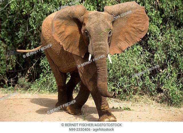 African elephant (Loxodonta africana), Samburu National Reserve, Kenya