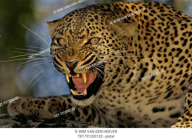 Leopard growling, Greater Kruger National Park, South Africa