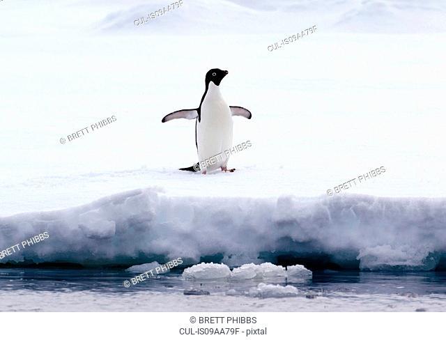 Adelie Penguin on ice floe in the southern ocean, 180 miles north of East Antarctica, Antarctica