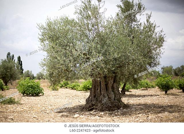 Olive tree near Morata de Tajuña, Comunidad de Madrid, Spain
