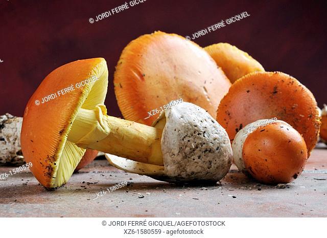 Caesar's Mushroom, oronja, reig, amanita caesarea, Edible mushroom, Costa Brava, Girona, Spain, Europe