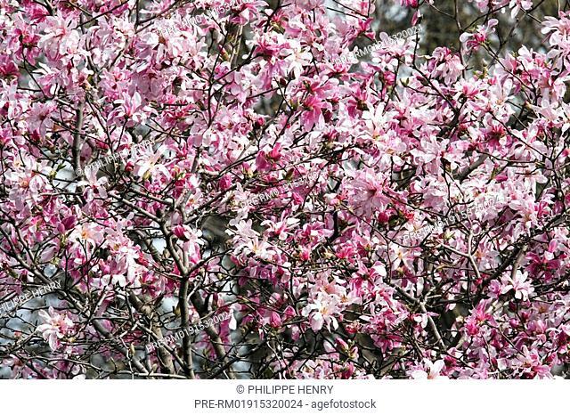 Leonard Messel Magnolia, Magnolia loebneri, Botanical garden, Montreal, Province of Quebec, Canada, Amerika