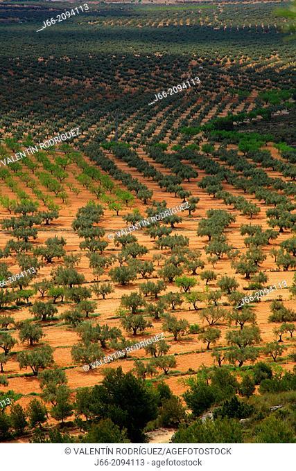 arable landscape of olive and almond Benejama, region Vinalopo. Alicante
