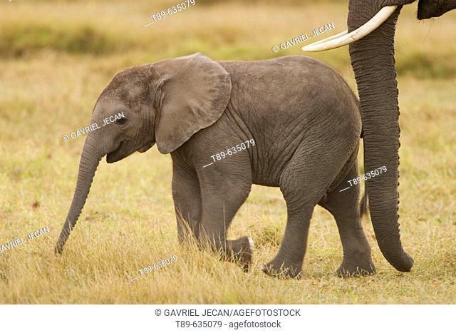 Elephants (Loxodonta africana), baby elephant and mother