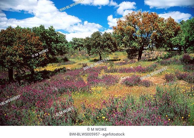 holm oak, evergreen oak Quercus ilex, blooming tree population, Spain, Extremadura