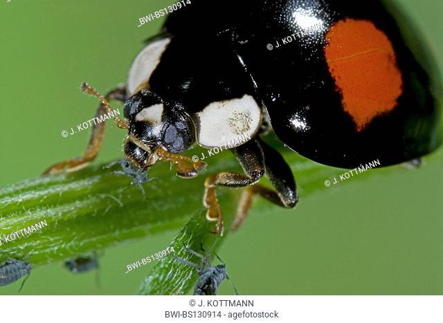 multicoloured Asian beetle (Harmonia axyridis), uncommonly coloured individual eats plant louse, Germany, North Rhine-Westphalia