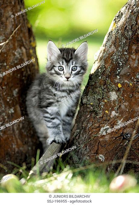 Norwegian Forest Cat. Tabby kitten standing among tree trunks. Germany