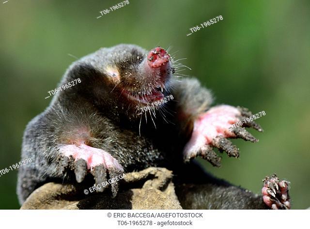 European Mole portrait (Talpa europaea) Alsace, France