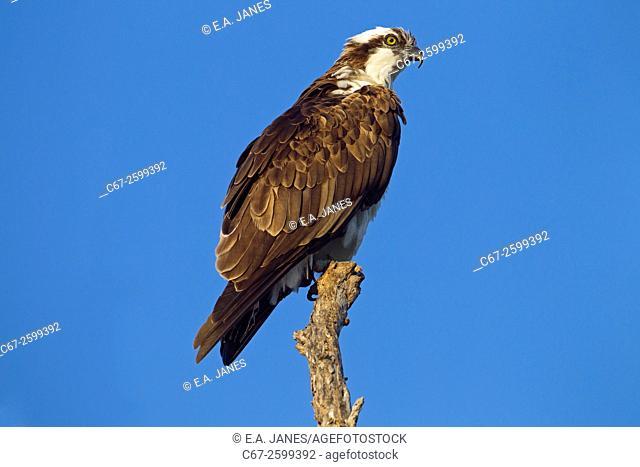 Osprey Pandion haliaetus March Fort Myers beach Gulf coast Florida USA