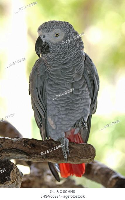Grey Parrot, Psittacus erithacus timneh, West Africa, Central Africa, adult