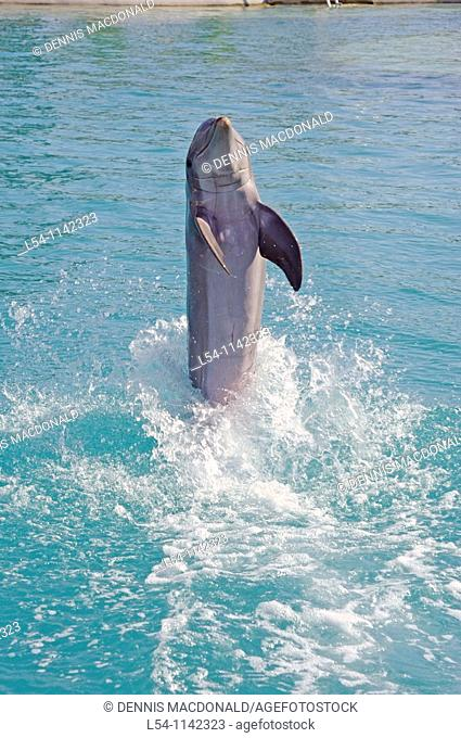 Dolphins perform at Marine Adventure Park at Boatswain Beach Grand Cayman Islands Caribbean