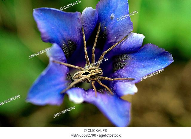 A spider lying on a Gentiana acaulis (stemless gentian), a species of flowering plant in the family Gentianaceae, native to central and southern Europe Lombardy...