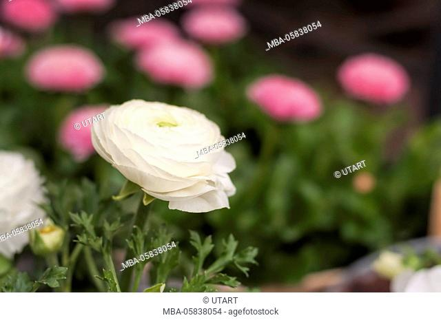White ranunculus, close-up, in the background pink Bellis
