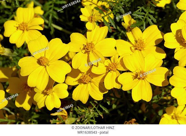 Tagetes tenuifolia Luna Lemon Yellow, student fl