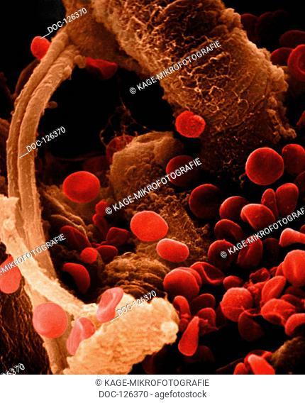 Vene Coronary circulation