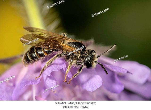 Banded Dark-Bee (Stelis punctulatissima) on Field Scabious (Knautia arvensis), Baden-Württemberg, Germany
