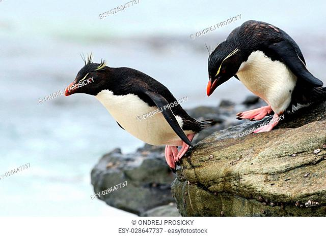Rockhopper penguin, Eudyptes chrysocome, jumping in the sea