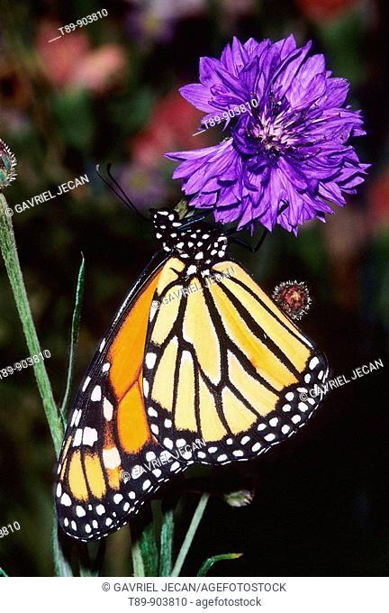 Monarch butterfly Danaus plexippus on flower