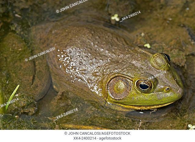 American bullfrog (Lithobates catesbeianus), Virginia, USA