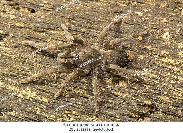 Spider, Theraphosidae, Manu,Tripura, India
