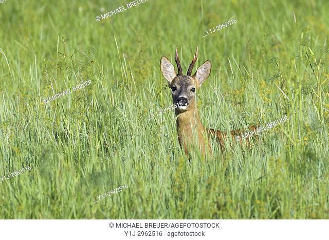 Western Roe Deer (Capreolus capreolus) in summer, Roebuck, Hesse, Germany, Europe