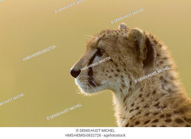 Kenya, Masai Mara National Reserve, Cheetah (Acinonyx jubatus)