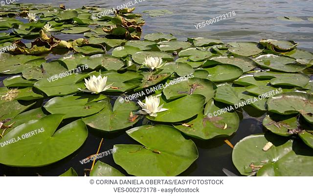 Water lilies in bloom on a lake in august