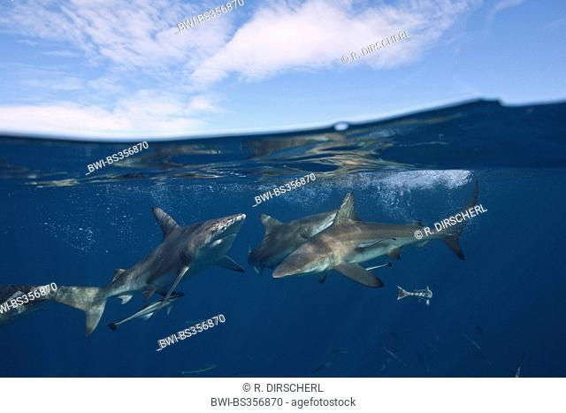 blacktip shark (Carcharhinus limbatus), at the water surface, split image, South Africa, Indian Ocean, Aliwal Shoal