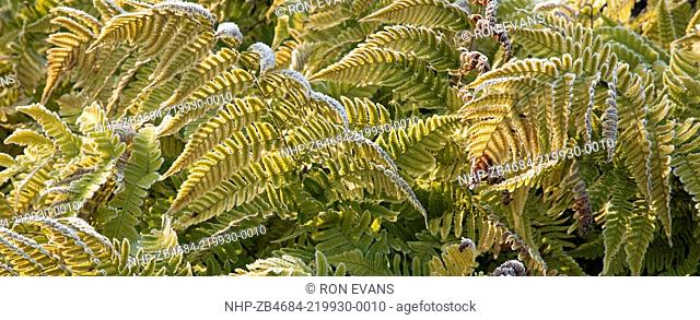 frost on ferns in late autumn early winter at trentham gardens staffordshire england november