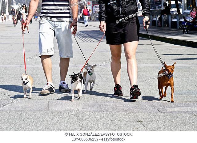 Couple walking chihuahua dogs at San Lorenzo promenade, Gijon, Asturias, Spain