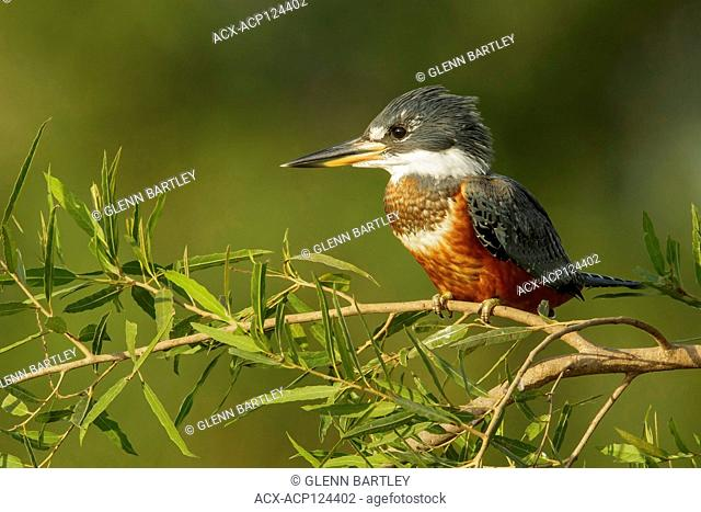 Ringed Kingfisher (Megaceryle torquata) in the Pantalal region of Brazil