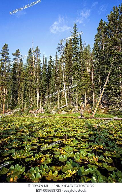Lily pads on Isa Lake, Yellowstone National Park, Wyoming