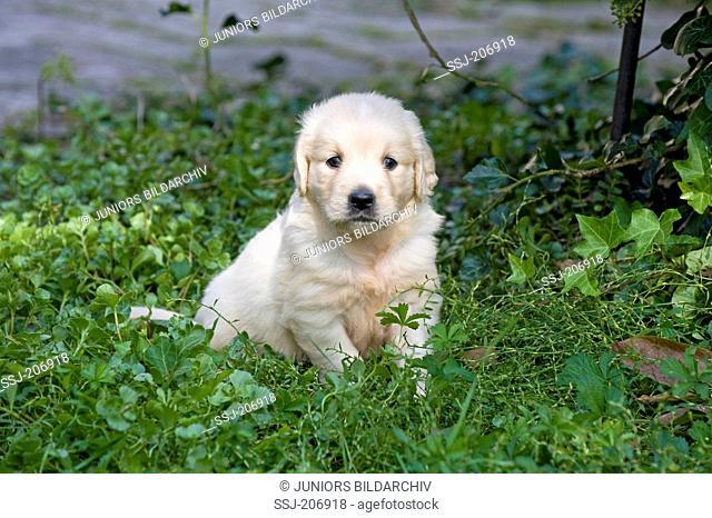 Golden Retriever. Puppy (4 weeks old) sitting in a garden. Germany