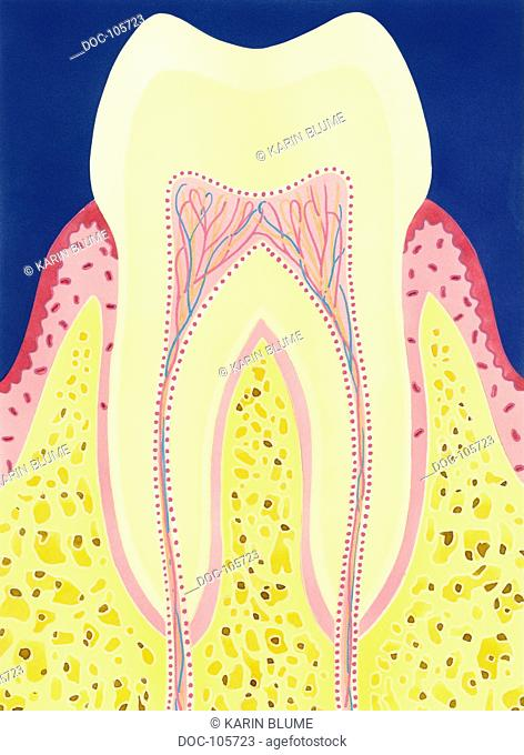 tooth , tooth root