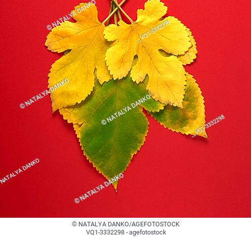 three green and yellow leaves of a mulberry on a red background, close up
