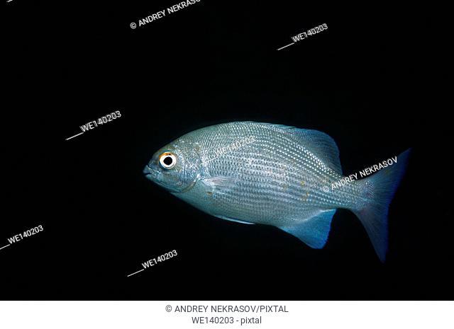 Blue seachub, Bluefish, Highfin rudderfish or Longfin rudderfish (Kyphosus cinerascens) Indian Ocean, Hikkaduwa, Sri Lanka, South Asia