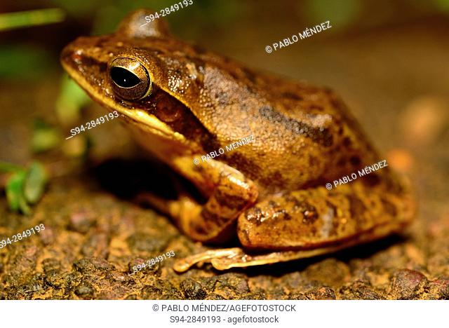 Indian tree frog (Polypedates maculatus) in Cotigao wildlife sanctuary, Goa, India