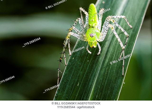 Green Lynx Spider (Peucetia viridans) - Camp Lula Sams, Brownsville, Texas, USA