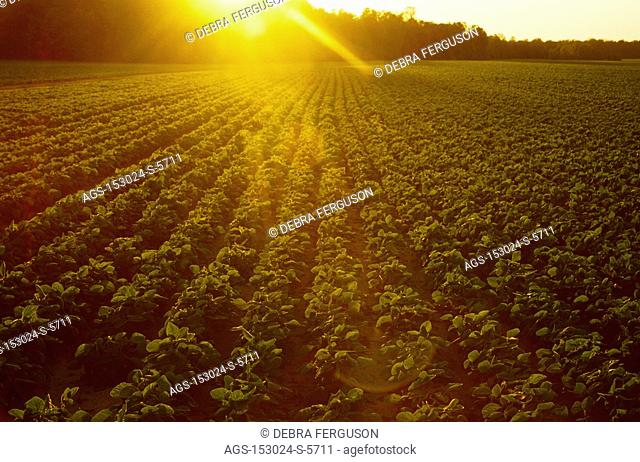 Agriculture - Field of mid growth soybeans in late afternoon light / MS