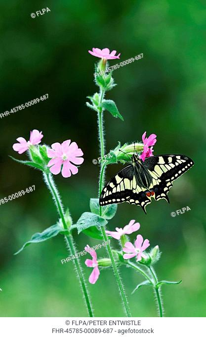 Common Swallowtail Papilio machaon britannicus adult, feeding on Red Campion Silene dioica, England, summer