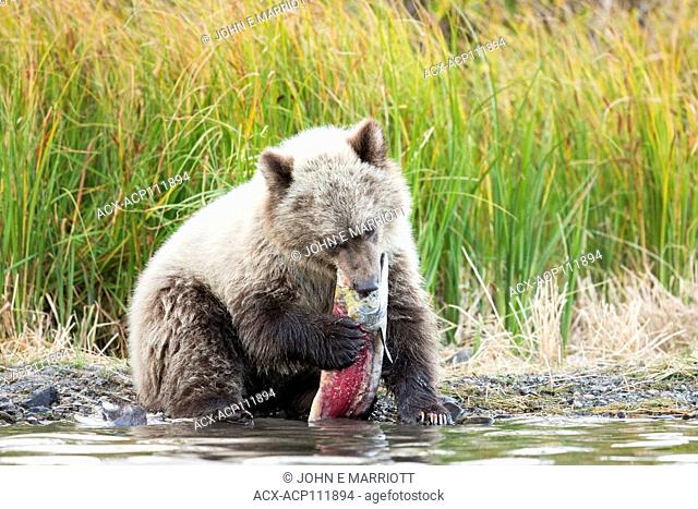 Grizzly bear, Ursus arctos
