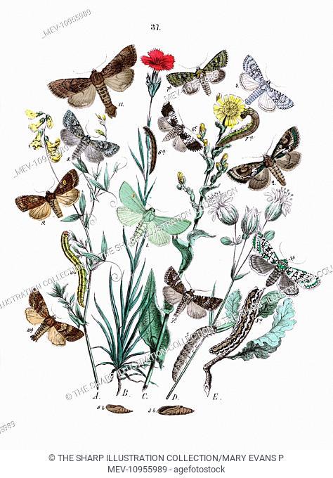 Illustration, Orthosiidae -- Hadenidae -- Luperina Virens, Miselia Oxyacanthae, Dichonia Aprilina, Polia Chi, Dianthoecia Albimacula, Dianthoecia Compta