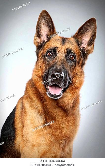 German shepherd dog portrait on grey background