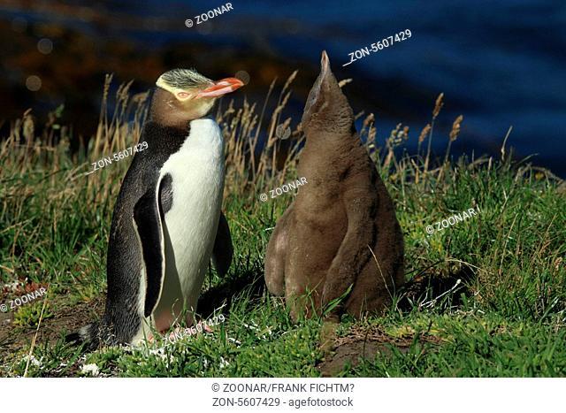 Gelbaugenpinguin mit Jungtier Neuseeland